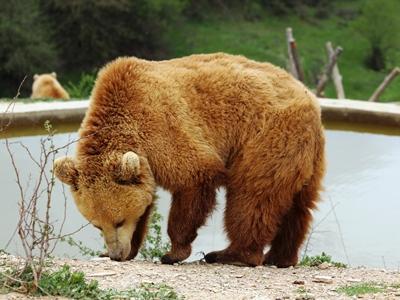 bear in bear sanctuary pristina kosovo