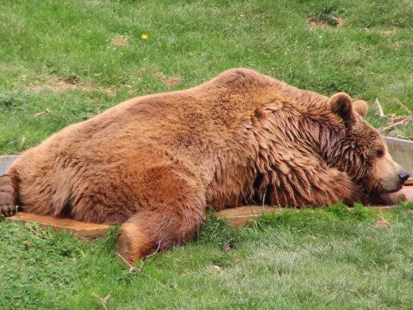 bear in sanctuary kosovo nearby pristina