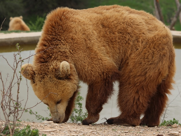 brown bear in bear sanctuary